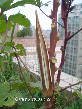 FB_紅秋葵種子s
