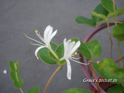 FB_金銀花-園藝s