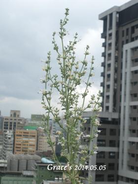 白鼠開花_0505-1