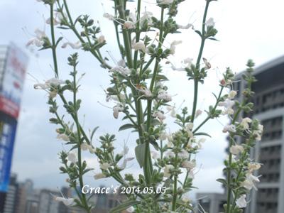 白鼠開花_0505-3
