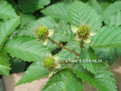 黑莓_1030620-1