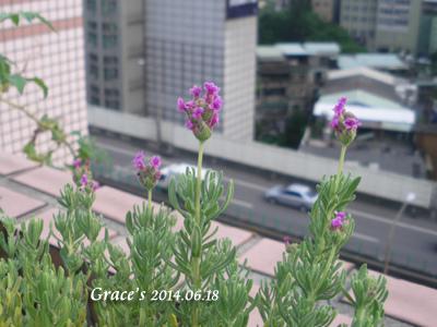 法國紅花_1030618