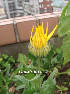 金盞花0125-1