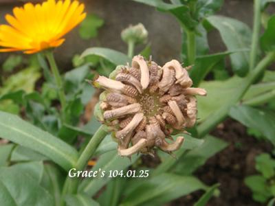 金盞花0125-4
