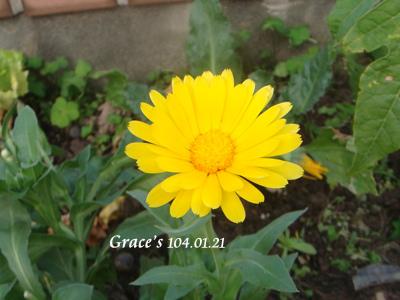 金盞花0121-1