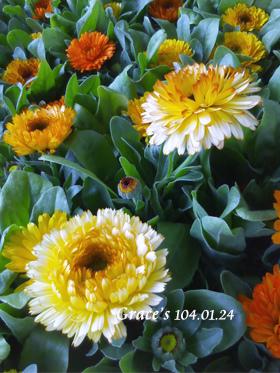 金盞花0124-3