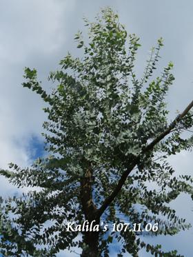 桉樹.jpg