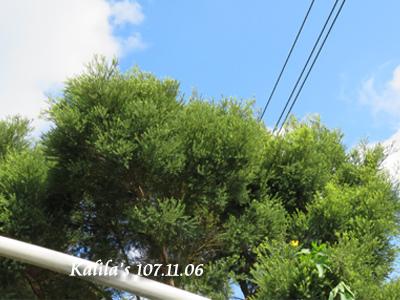 澳洲茶樹.jpg