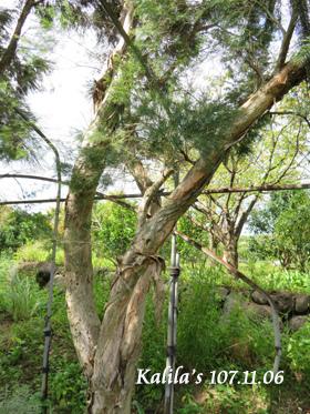 澳洲茶樹樹幹.jpg