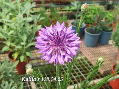 紫色矢車菊.jpg