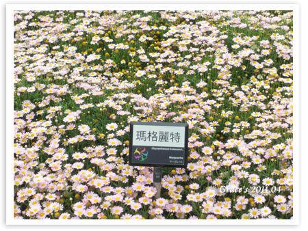 粉紅波斯菊.jpg