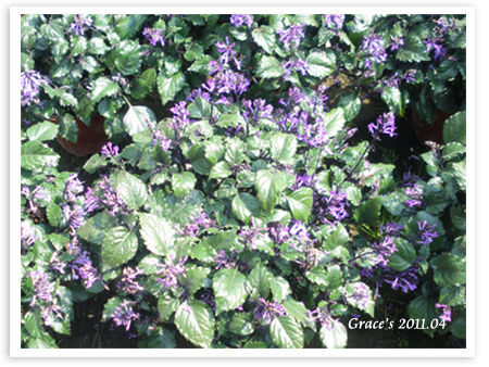 紫孔雀.jpg