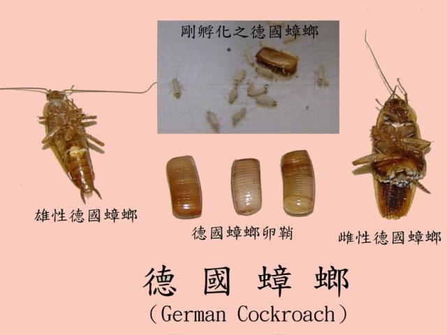 德國蟑螂.jpg