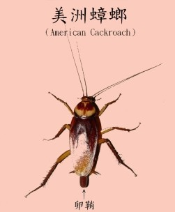 美洲蟑螂1.jpg