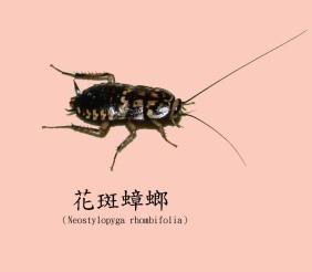 花斑蟑螂1.jpg