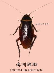 澳洲蟑螂1.jpg