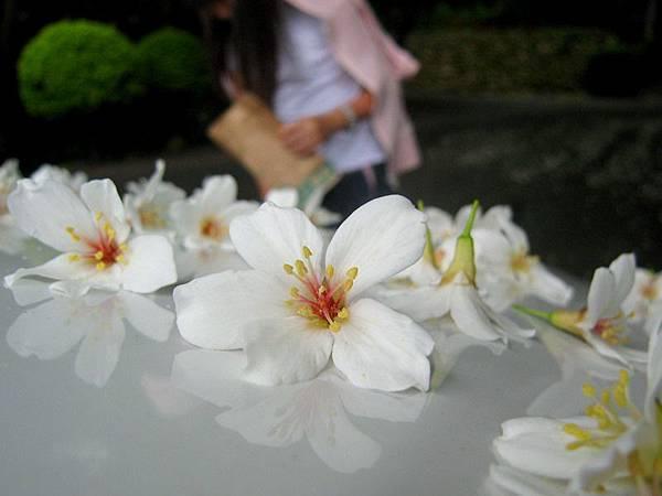 銅鑼油桐花 (6).JPG