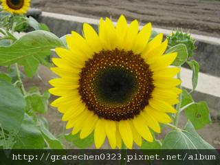 向日葵(太陽)圖片.jpg