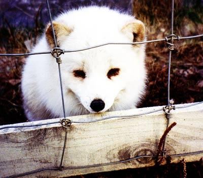 fox1-1.jpg