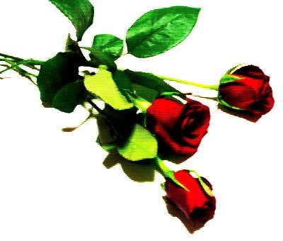 rose1-1.jpg