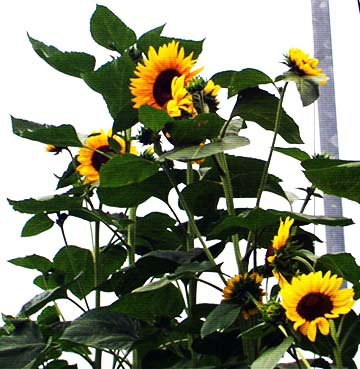 sunflower1-1.jpg