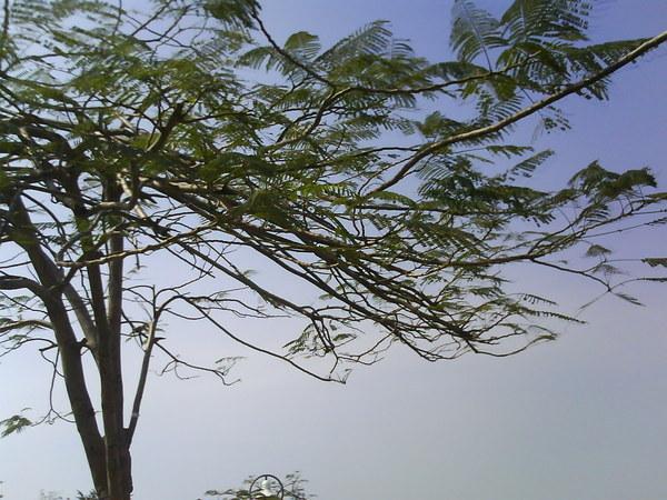 愛河畔的鳳凰木