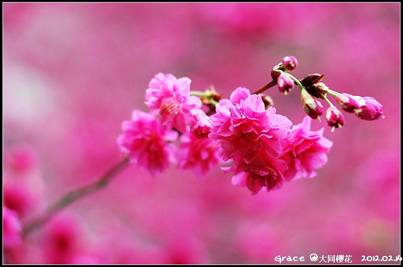 2012.02.14 宜蘭大同牛鬥 ~櫻花~Gracehomestay