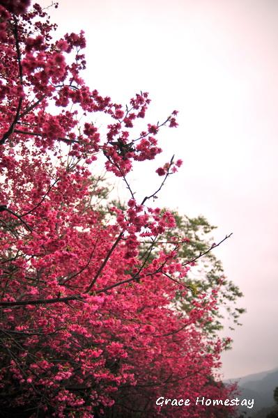 台七丙線山櫻花~在牛鬥盛開囉