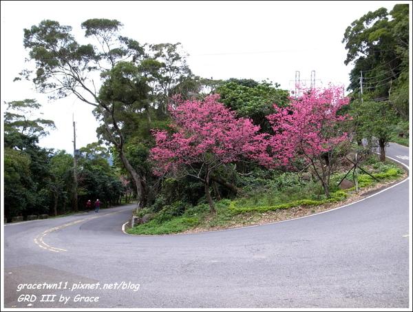 2010北投復興三路櫻花