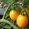 黃色小番茄