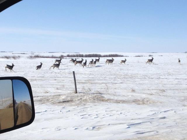 雪漠中的鹿群
