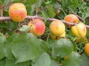 南杏 杏桃