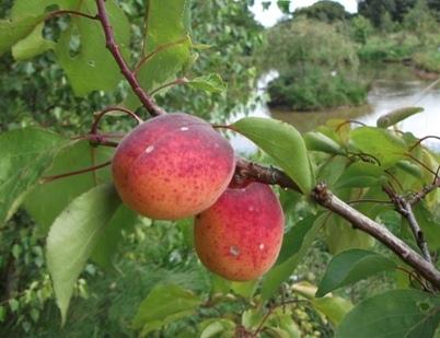 杏桃 apricot