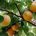 apricot CA 1.jpg
