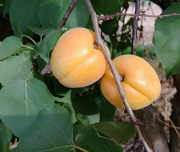 apricot CA 2.jpg