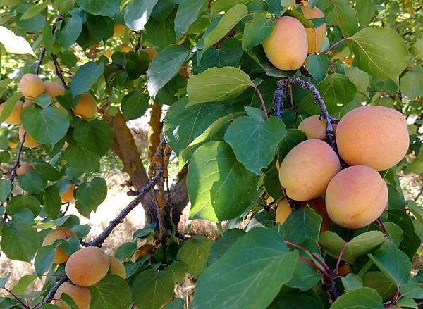 apricot CA 3.jpg