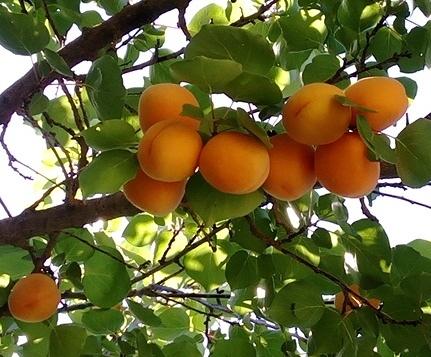 apricot CA 4.jpg