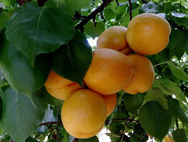 apricot CA 5.jpg