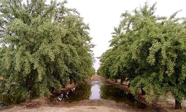 almond  farm CA.jpg