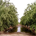 almond  farm CA.jpg