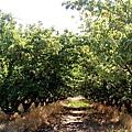 apricot farm CA.jpg