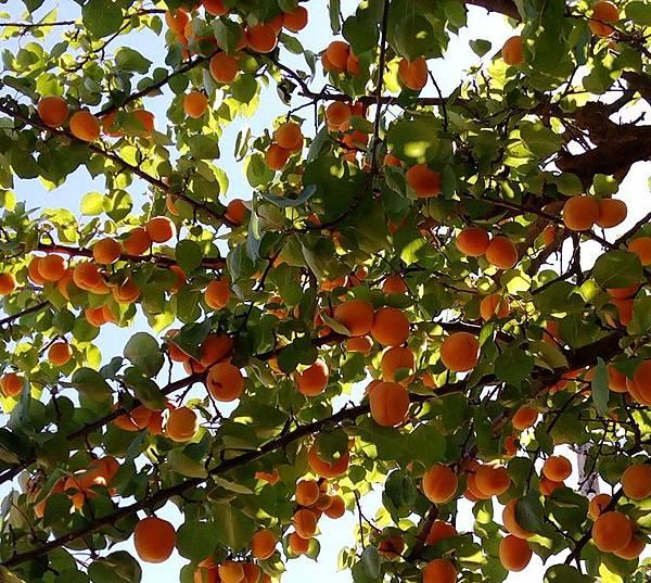 美國加州杏桃.jpg