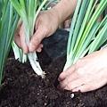 有機蔥的種法 10