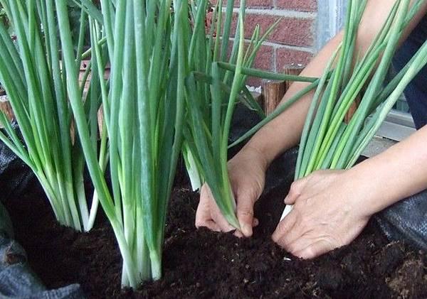 有機蔥的種法 9