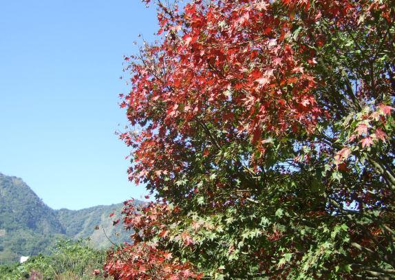 阿成家的楓樹