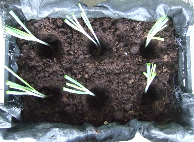 有機蔥的種法 8