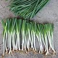 有機蔥的種法 7