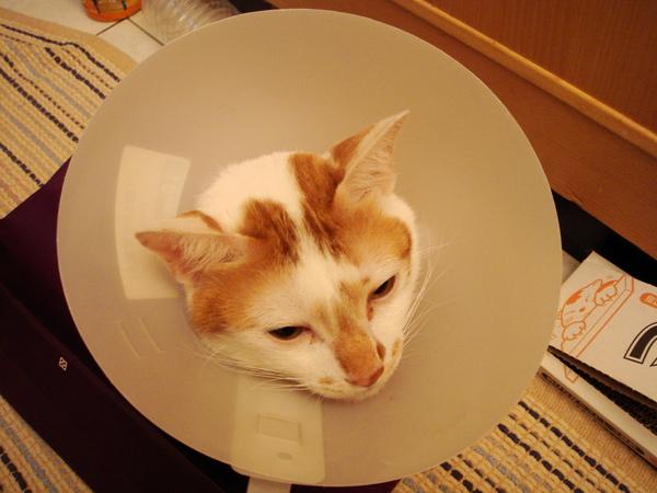 很活潑的貓咪都變的痛的不太動了