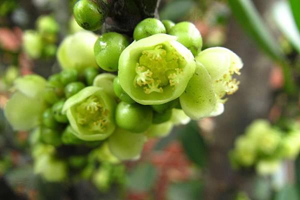4-福木的花朵 (19)