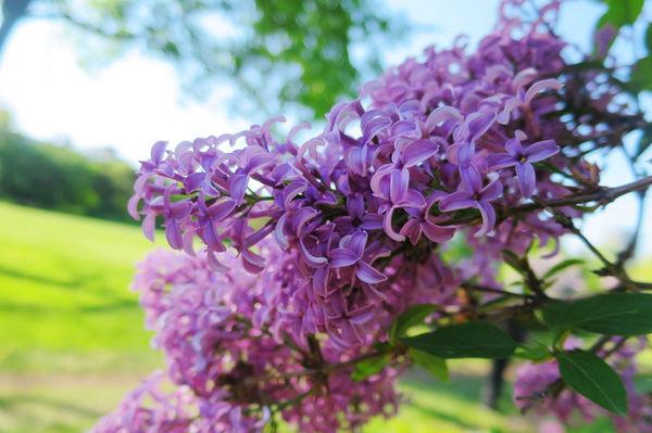 紫丁香-1.jpg